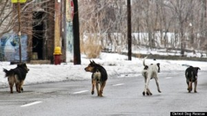 Photo Courtesy of Detroit Dog Rescue: up to 50,000 wild dogs roam Detroit.