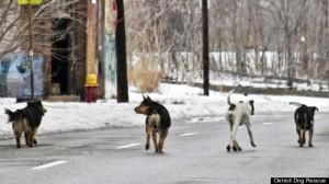 Photo Courtesy of Detroit Dog Rescue: up to 50,000 wild dogs roam Detroit.